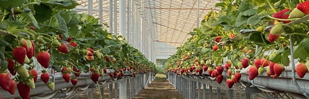 Strawberries Yarra Valley